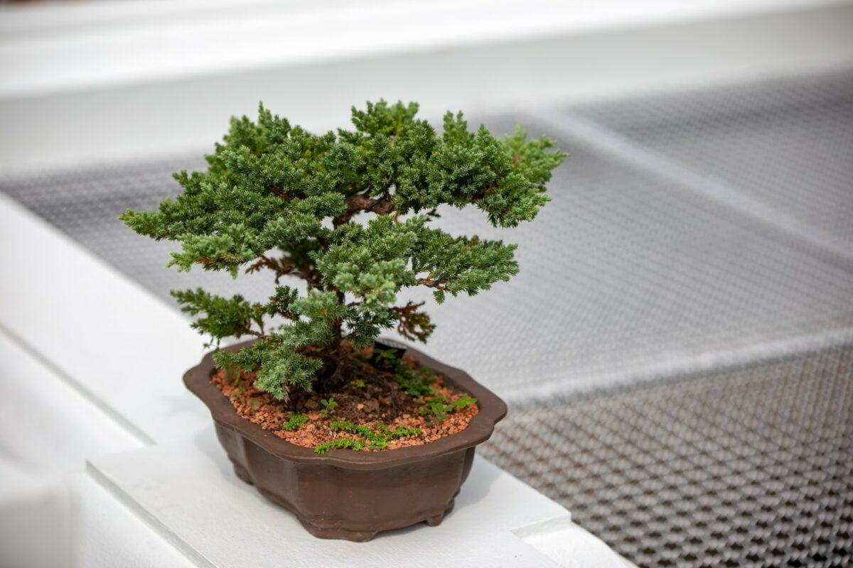 pousser des bonsaïs