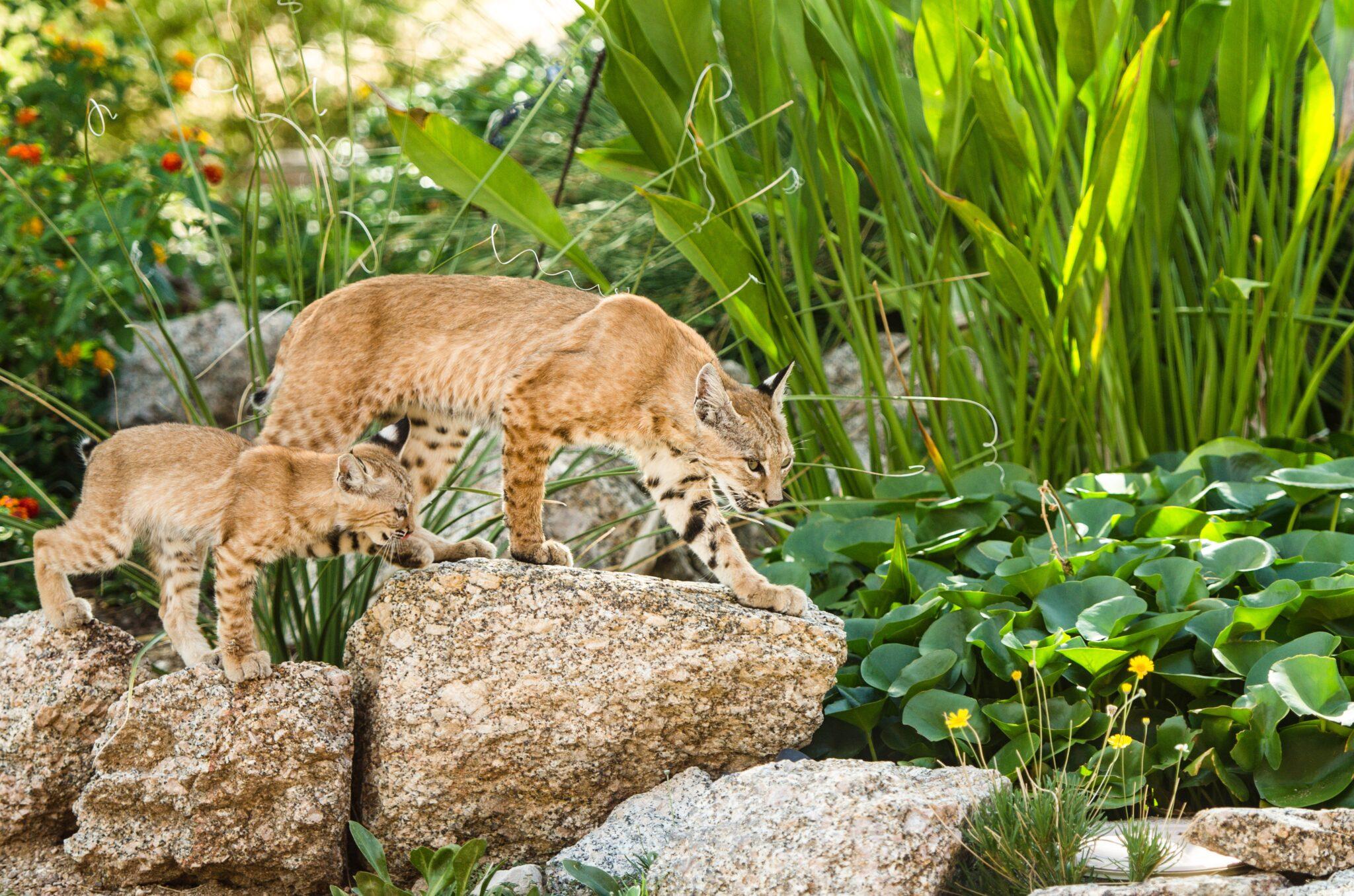 roux lynx
